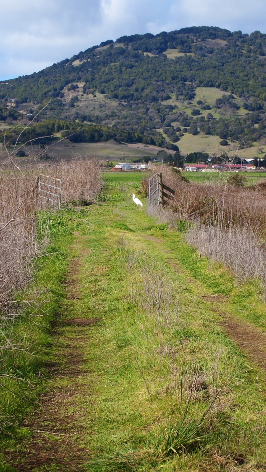 An egret enjoys a walk in the grass at Novato Marsh.