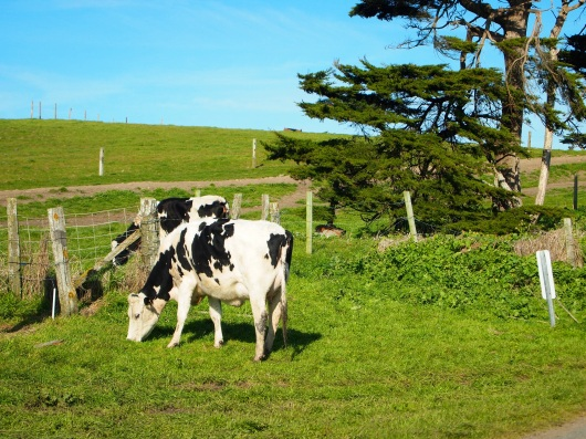 Dairy cows out at Pt. Reyes