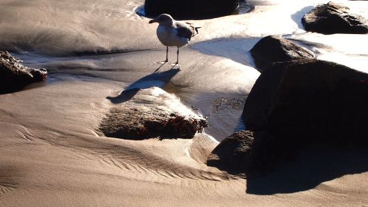 Seagull at Morro Rock